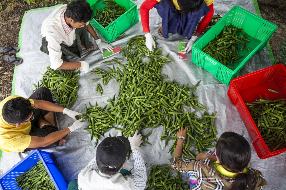 Workers sort and grade the morning's okra harvest by size, near a field not far from the village of Si Pin Thayar in Myanmar.
