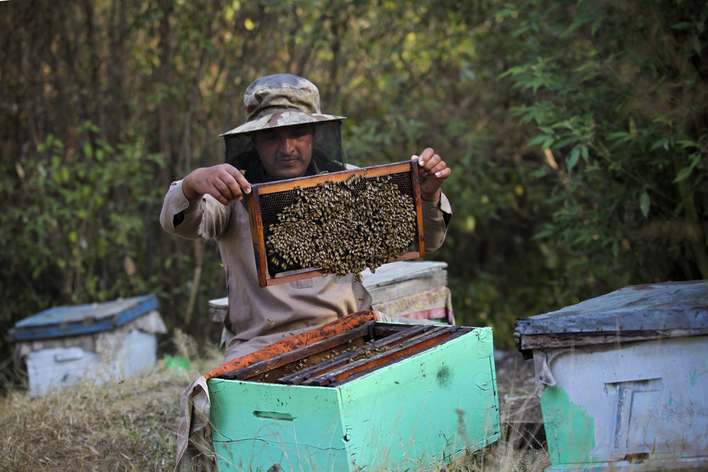 Imran checks his honeybees and beehives in Azad Jammu Kashmir, Pakistan. Imran is part of a community bee-keeping project which benefited ten households in the local area. The IFAD project provided funding as well as training on beekeeping techniques.